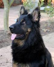 Photo: Bono als volwassen hond