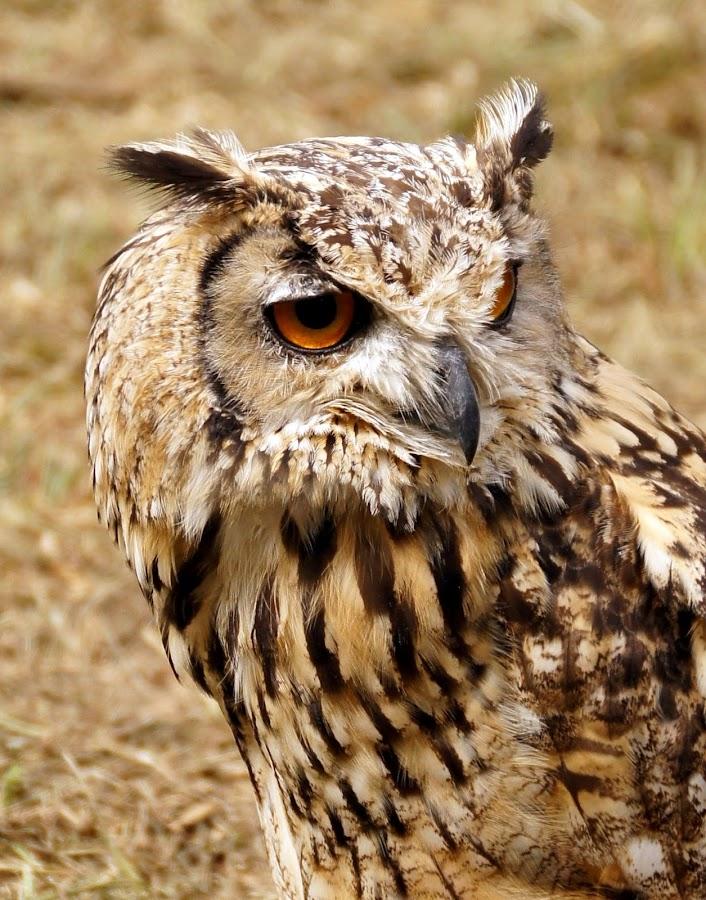 Church owl by Anita Berghoef - Animals Birds ( bird, church owl, bird of prey, owl, brown, animal,  )