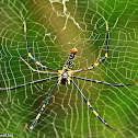 Giant Golden Orbweaver