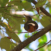 Ruffous-bellied thrush