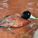 Maccoa duck