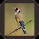 Download Kicau Goldfinch Gacor Super For PC Windows and Mac