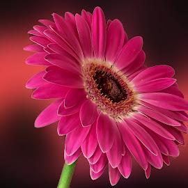 pink gerbera by Eseker RI - Flowers Single Flower (  )