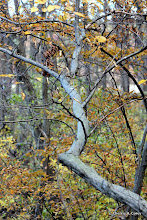 Photo: American hornbeam (Carpinus caroliniana)
