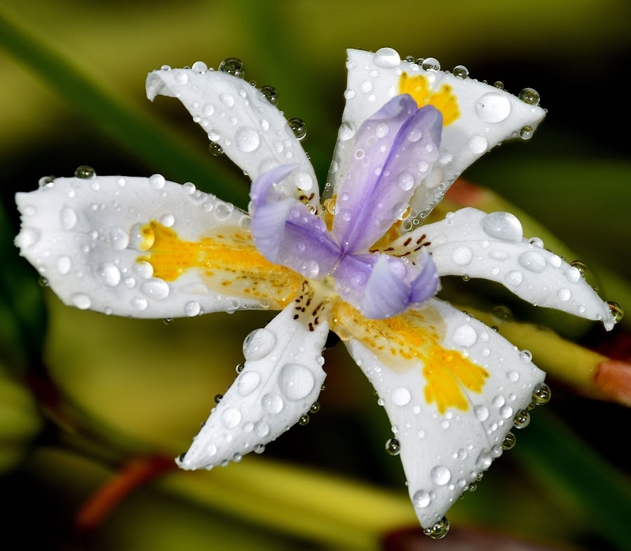 macro  by Zhenya Philip - Flowers Single Flower ( water, macro photography, color, nature up close, wildlife, flower, droplets,  )