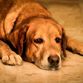 Sad Alfie by Bong Flores - Animals - Dogs Portraits ( alfie, labrador, dog, yellow lab )