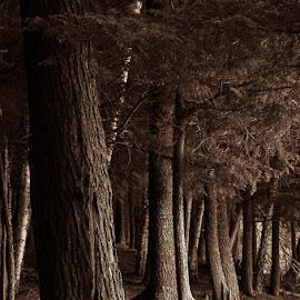 Silent Sentinals  by Michael Haagen - Landscapes Forests ( forest, tree, treetrunk, wood, split tone,  )