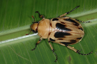 Photo: 6 Ancognatha vulgaris, Esquinas Rainforest