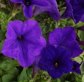 Image result for petunia wave blue