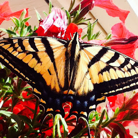 Monarch Beauty by Kathlene Moore - Animals Insects & Spiders (  )