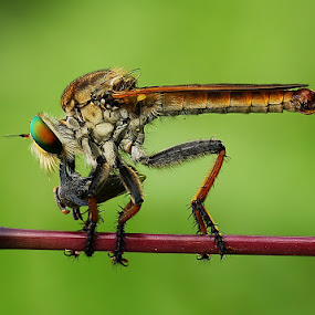 Lunch ..,  by Angga Putra - Animals Insects & Spiders ( robberfly )