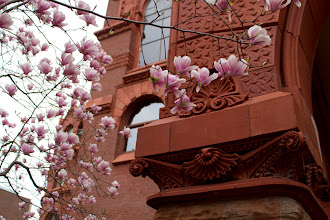 Photo: Magnolias in bloom in front of Fisher Fine Arts Library