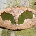 Innominae moth