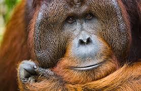 Billedresultat for orangutan ken allen
