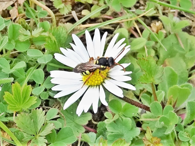 2019-03-27 LüchowSss Garten Wespenbiene (Nomada) auf Gänseblümchen (Bellis perennis)