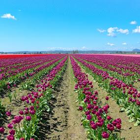 Tulip Festival - Seattle by Anand Kannan - Landscapes Prairies, Meadows & Fields ( pwcflowergarden )