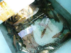 Photo: クマガイさんも大漁でした。 ・・・あの魚は??