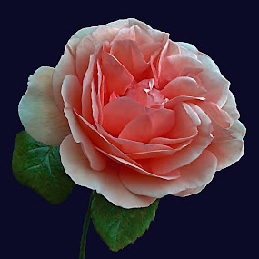 The Rose by Diana Postill - Nature Up Close Flowers - 2011-2013 ( rose, nature, bloom, closeup, flower,  )