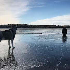 Seltjörn by Bjarklind Þór - Animals - Dogs Playing