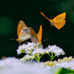 triplets by Anna Trandeva - Animals Insects & Spiders ( 3, butterflies, in flight,  )