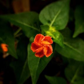 soon to bloom by Erl de Jose - Flowers Flower Buds ( blooms, plants, buds, flowers, garden )