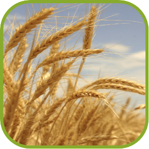 Charming Wheat Wallpapers download