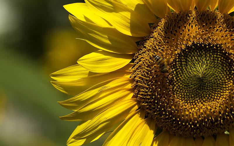 il lavoro dell'ape di Giacodam87