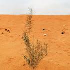 White saxaul tree