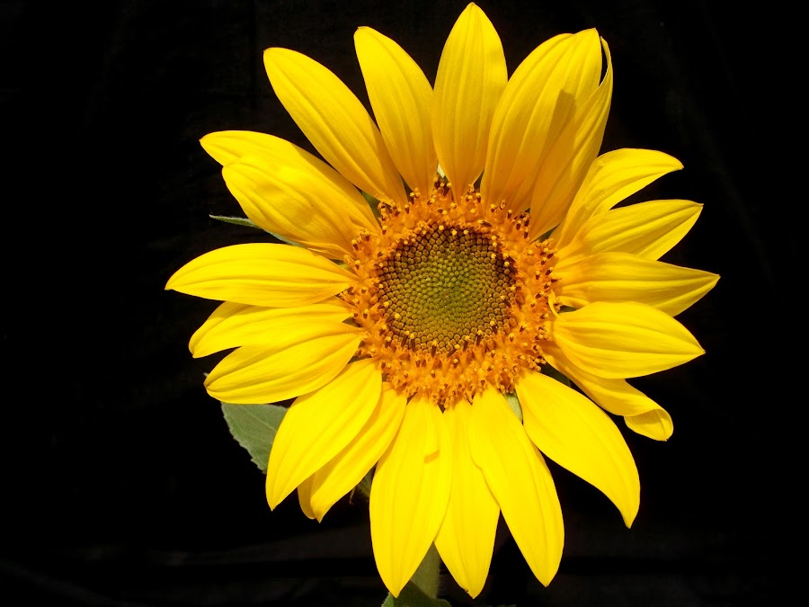 Sun Flower by Ishaque BeTawar - Nature Up Close Flowers - 2011-2013