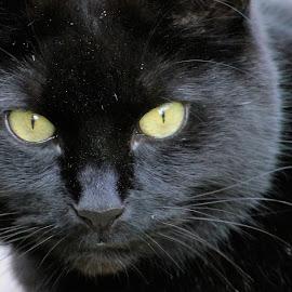 blacky by Sue Rickhuss - Animals - Cats Portraits