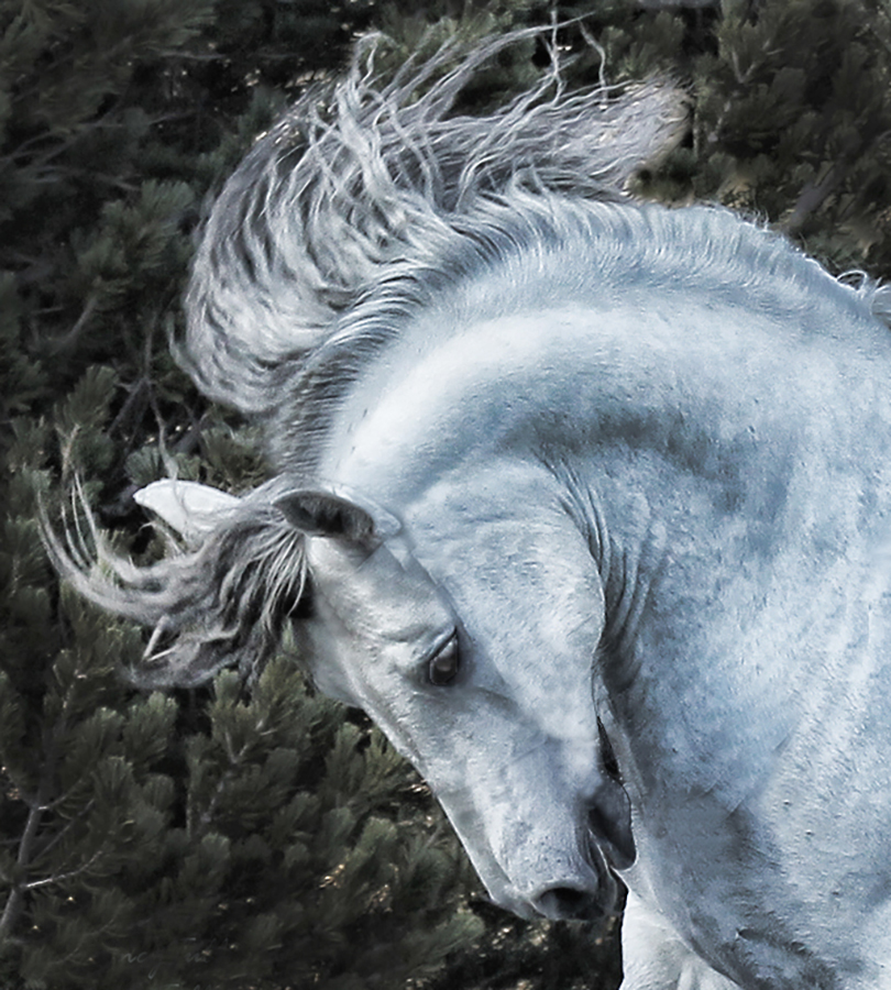 The Magnificent Thor by Nancy Tubb - Animals Horses ( equine, andalucian, horse, andalusian, white horse,  )