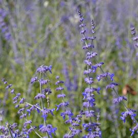 by Rachel B - Flowers Flowers in the Wild ( flower photography, flowers, purple, garden, park )