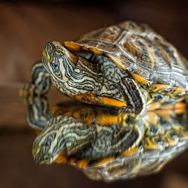 Looking good for the camera by Tammy Arruda - Animals Reptiles ( reflection, turtle, turtles and a wasp, reptile )