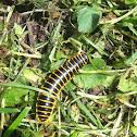 Kentucky flat millipede