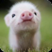 Little Pig Live Wallpaper
