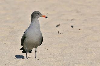 Photo: Heermann's Gull
