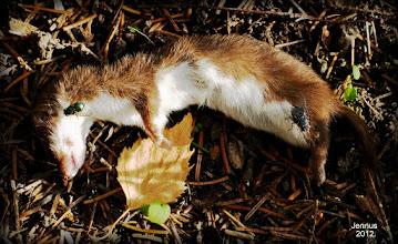 Photo: Least weasel