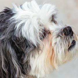 Captain Jack by Dave Lipchen - Animals - Dogs Portraits ( dog, captain jack )