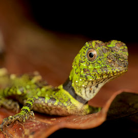 Gonocephalus liogaster by Brandon Chan - Animals Reptiles ( macro, lizard, macrophotography, dragon, reptile )