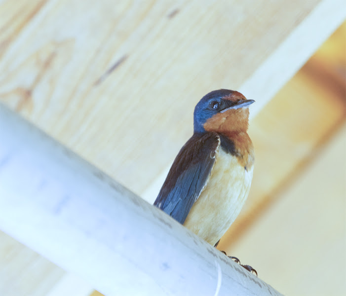 Photo: Barn Swallow #BirdPoker Swallows curated by +Phil Armishaw #Nature #Swallows #Birrds #Canon #Nature