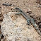 Chilean Iguana