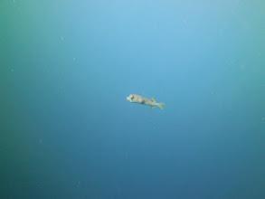 Photo: Pufferfish