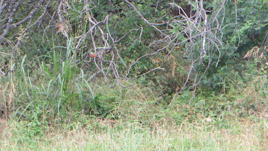 Photo: Painted Bunting on high zoom