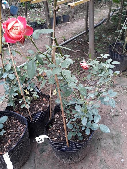 Chậu hoa hồng leo Soleil Romantica rose (cây giống)