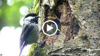 Video: Black-capped Chickadee feeding its young which are fully fledged and about to leave the nest.