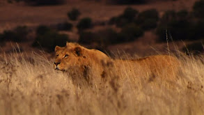 Tracking Lions thumbnail