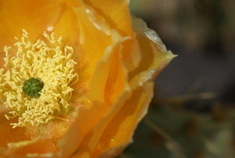 Flor de cactus en Macroscactus001.JPG
