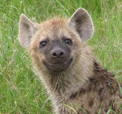 hyena_pup