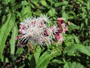 Photo: Salvia Macho (Eupatorium Salusa)