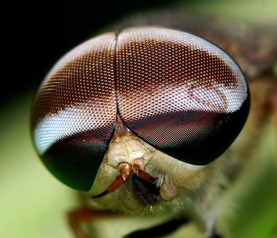 Horsefly by Sam Moshavi - Animals Insects & Spiders